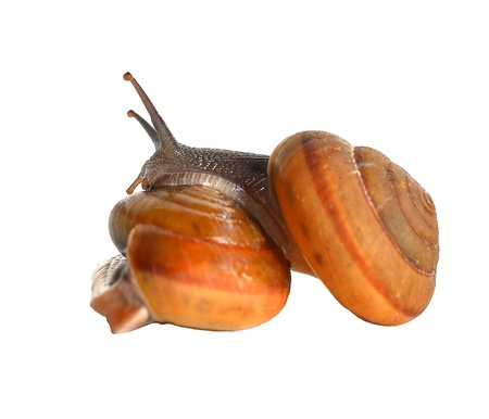 Striped snail on white background photo
