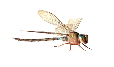 damselfly:  Dragonfly on a white background.
