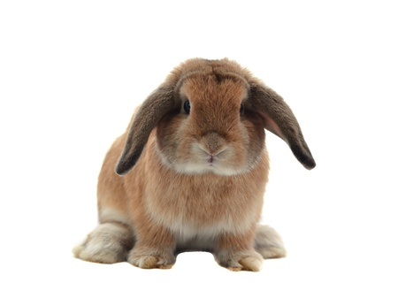 bunny rabbit: rabbit isolated on a white background