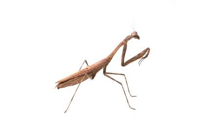 mantid: Mantis. on white background