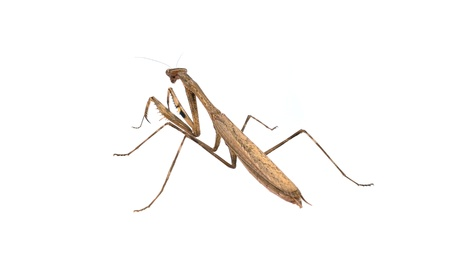 Mantis  on white background photo