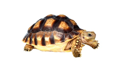 spurred:  african spurred sulcata  of white background