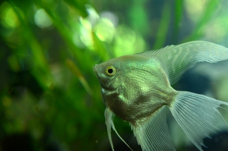 Fresh water Angel fish - Pterophyllum scalare Stock Photo - 20166844