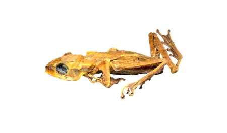 carcass: Dead frog.