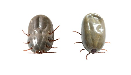 female tick on a white background