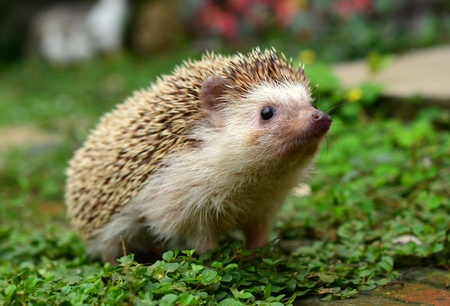 hedgehog: Hedgehog