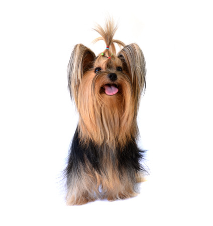 yorkshire terrier isolated on white Stock Photo - 22491051