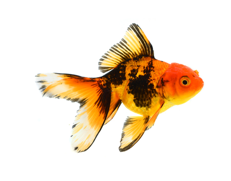 Gold fish. Isolation on the white Stock Photo - 22491226