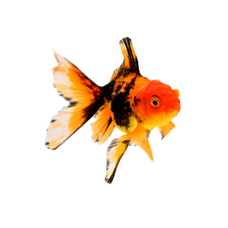 Gold fish. Isolation on the white Stock Photo - 22491232