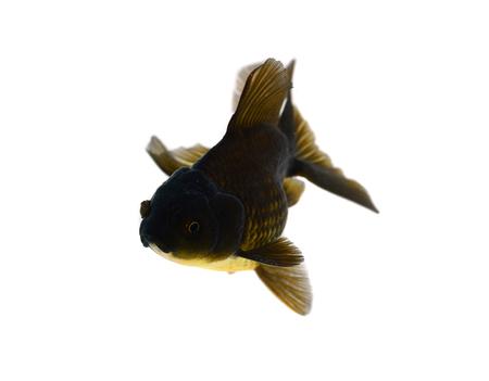 Gold fish. Isolation on the white Stock Photo - 22491235