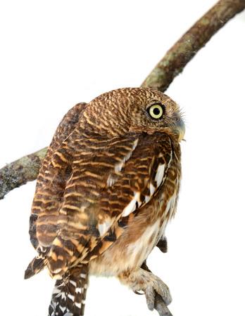 athene: owl of white background