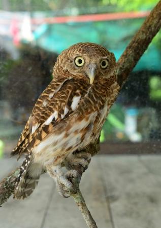 athene: owl