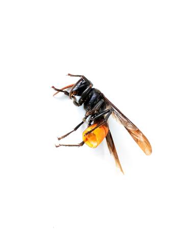 hymenoptera: Hymenoptera Dead Stock Photo