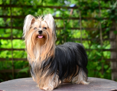 terrier: yorkshire terrier
