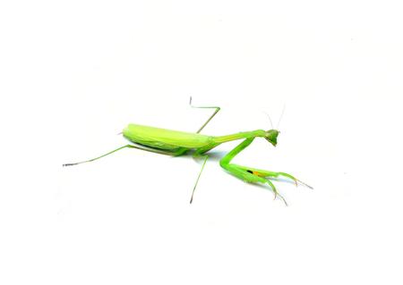 mantid: Praying Mantis.  Stock Photo