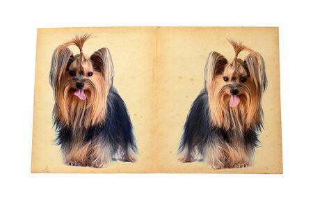 yorkshire terrier:  yorkshire terrier Old paper. Series