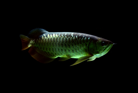 hobbyist: Asian Arowana fish on black background Stock Photo