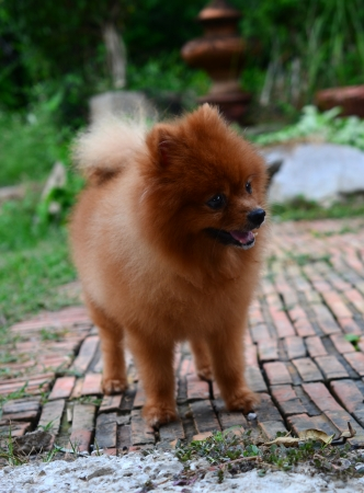 declare: Pomeranian doing the symbol to declare its territory