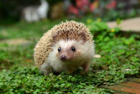 pygmy: Hedgehog