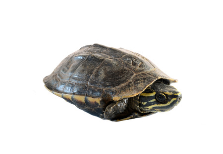 carapace: turtle on white background