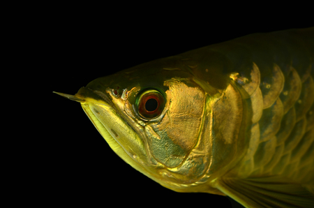 egglayer: Asian Arowana fish on black background
