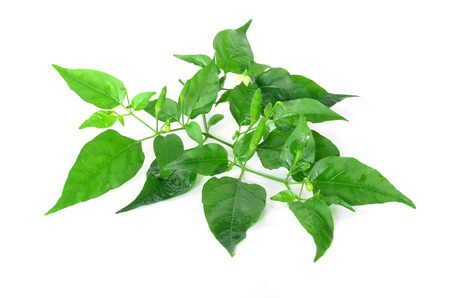 chili pepper plant  photo