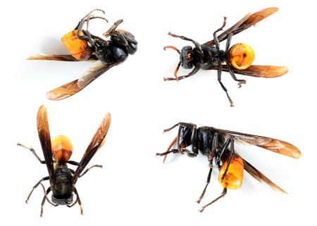hymenoptera: Hymenoptera insect Stock Photo