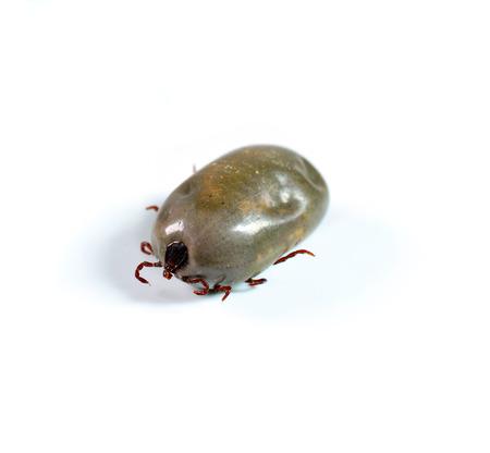 female tick on a white  photo