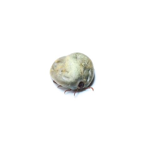 female tick on a white background photo