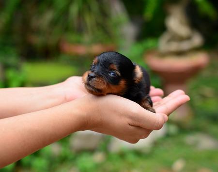 yorkshire terrier puppy  Standard-Bild