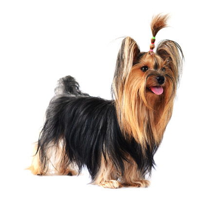 show dog: yorkshire terrier isolated on white