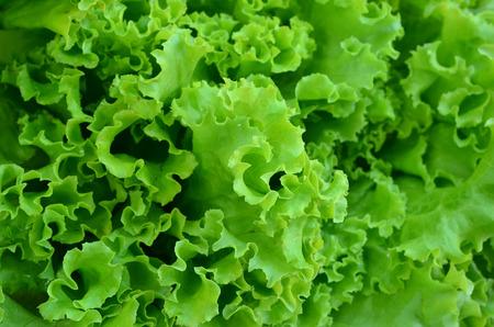 lechuga: hojas de lechuga verde fresco