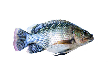 cyprinoid: Fresh fish isolated on a white  Stock Photo