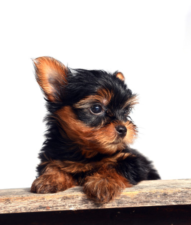 yorky: yorkshire terrier puppy