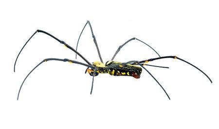 arachnophobia animal bite: Macro shot of a brown recluse spider on white