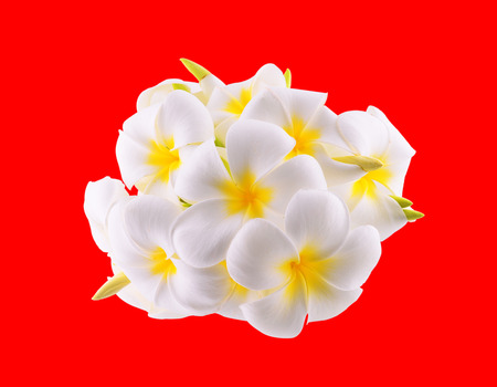 frangipani flower isolated on red  photo