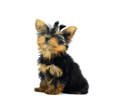 Pyppy of the Yorkshire Terrier photo