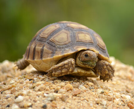 spurred: african spurred sulcata