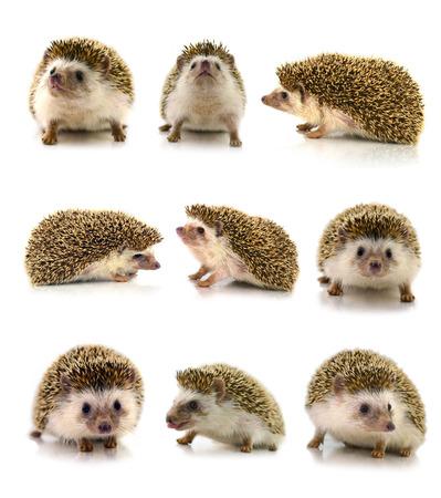 pygmy: Hedgehog isolate on white background