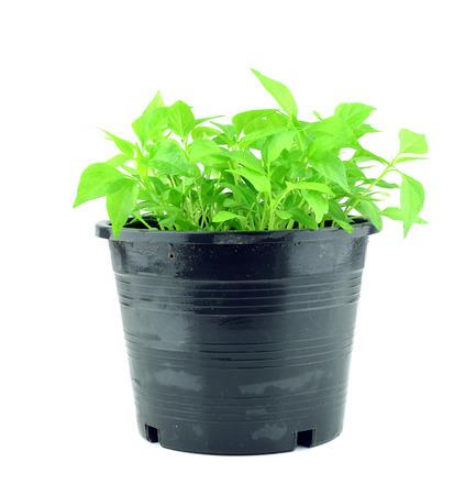 seedling chili pepper plant isolated on white background photo