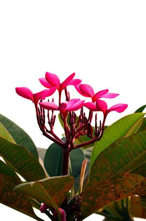 rangipani flowers isolated on the background white photo