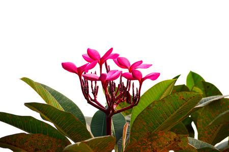 frangipani flowers isolated on the background white photo