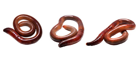 earthworm on a white background Stock Photo