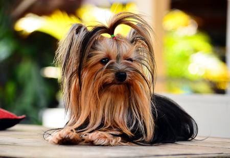 yorkie: yorkshire terrier