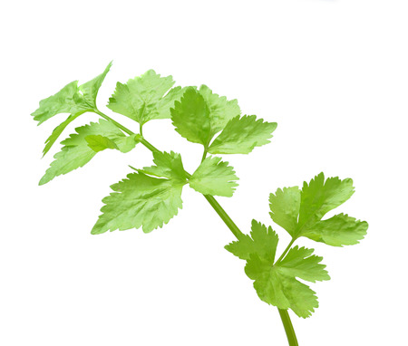 Coriander sprig isolated on white Stock Photo