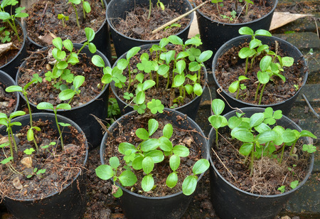 Papaya seedlings photo