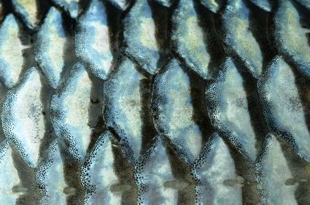 fresh water aquarium fish: Fish scales background