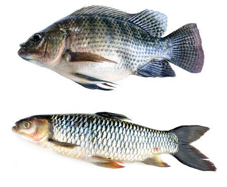 scardinius: Fresh fish isolated on a white