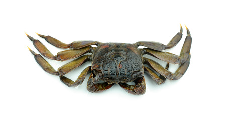 decapod: crab isolated on white background