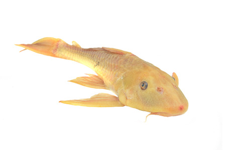 Fish  Hypostomus plecostomus isolated on white photo